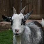 Llwydi - Nanny Goat