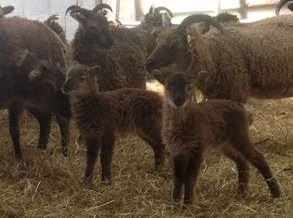 New born Soay Lamb